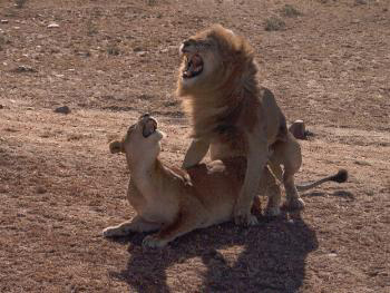 apareamiento leones lions mating