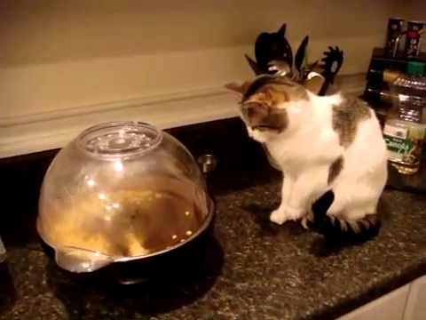 video gato palomitas