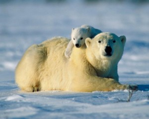 documental oso polar cria