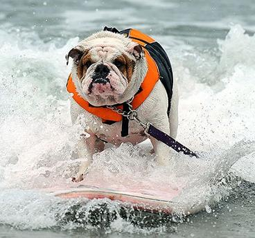 bulldog surf 1