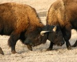 Bisontes peleando (BBC Earth)