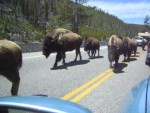 Exodo de bisontes en Yellowstone (2014)