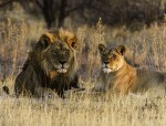 Documental – Los leones del Kalahari
