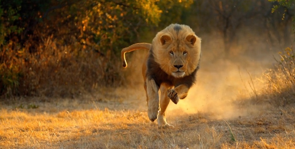 Animales documental leon corriendo