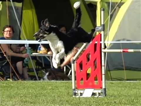 tex border collie