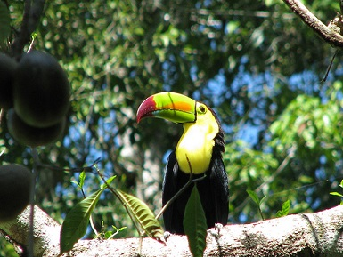 tucan selva tropical