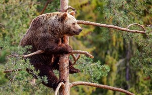 encuentro oso grizzly arbol