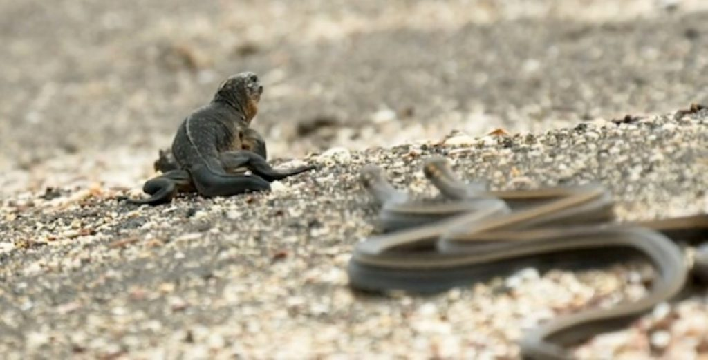 serpientes-iguana-bbc-earth-ii