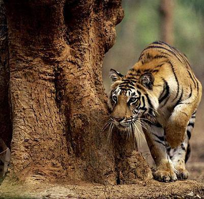 documental tigre india