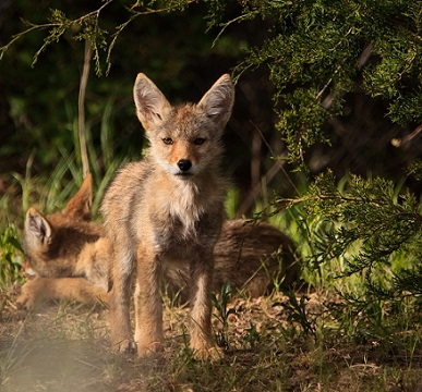 documental coyote